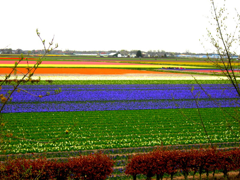 A kaleidoscope of color - Holland's Tulip Fields (1/6)