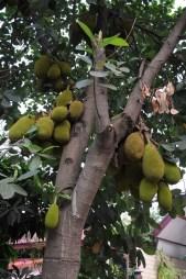 Jackfruit - chlebowiec.