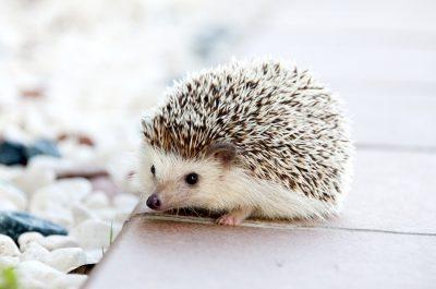 hedgehog-468228_960_720