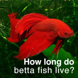 Pet Fish With Longest Life Span Betta Fish Life