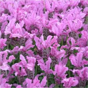 lavender-the-princess1