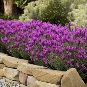 lavender-the-princess4