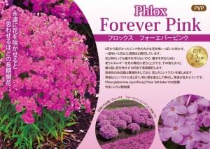 phlox-foreverpink6