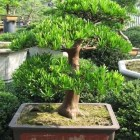 Podocarpus_macrophyllus_bonsai