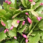 schlumbergera exotic dancer buds (own)