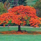 390delonix_regia