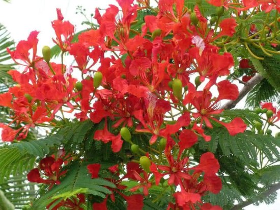 delonix regia 550x412 O flamboyant