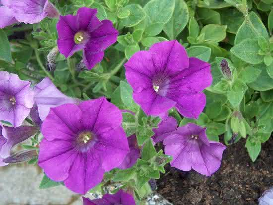 Petunia x hybrida Grandiflora VI08 C H4925 A petnia