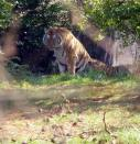 This was the other type of tiger. Bengal, I think.
