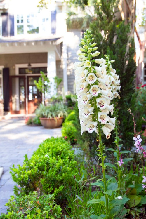 Foxgloves with Joni's door in the background