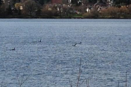 Strange, fish-eating birds at Green Lake