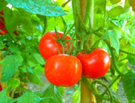 tomatoes_are nightshades