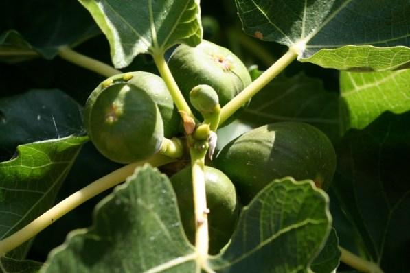 figfruits