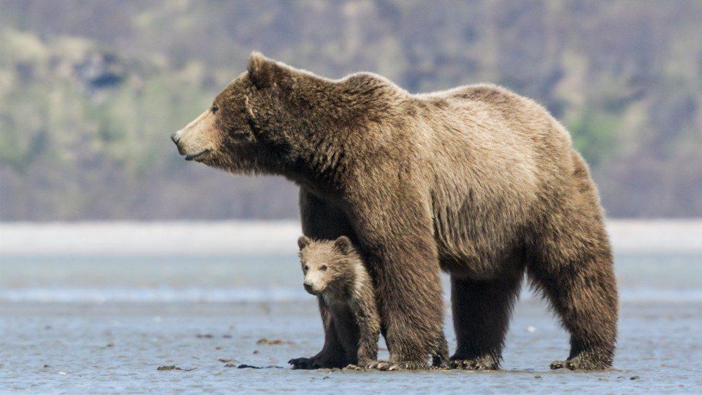 Bears Disneynature Bears Trailer Don't Miss the Heartwarming Sneak Peek