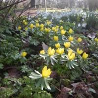 Winter Aconite, Eranthis hyemalis