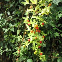 White Bryony, Bryonia dioica