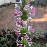Whorlflower, Morina longifolia