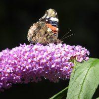 Buddleja (a.k.a. Buddleia) - the butterfly bush
