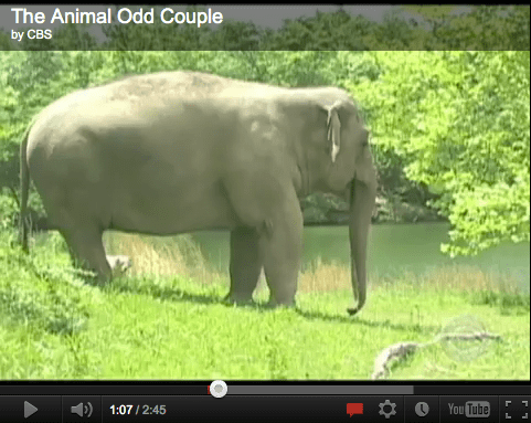 The Animal Odd Couple, Dog Loves Elephant