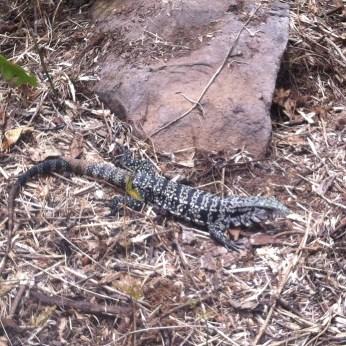 Lizard Iguazu