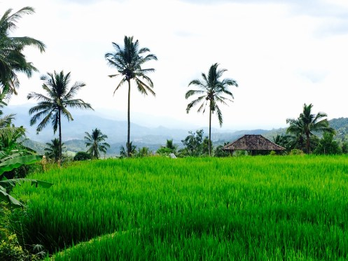 rice fields Munduk Bali