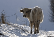 Normandy Cow in the Snow