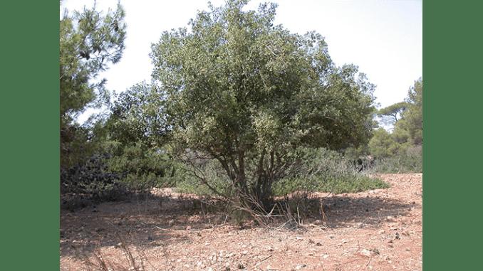 A terebinth of Mamre.
