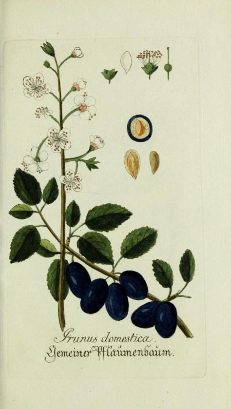 Prunus ilustration
