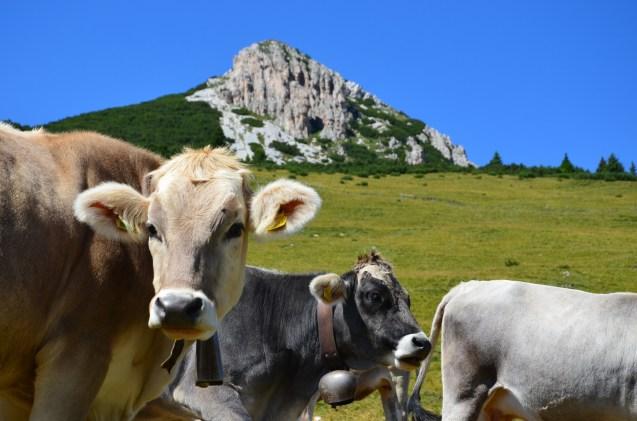Weißhorn mit Kühen