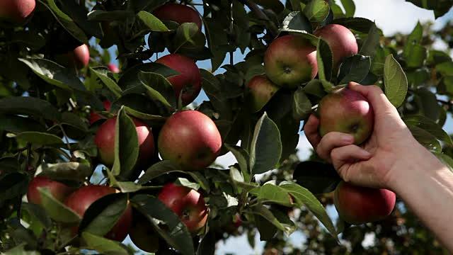 humans pick fruit apple