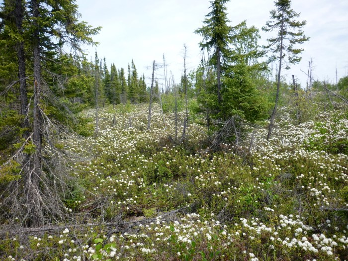 Labrador Tea in flower at our Day 18 lunch stop