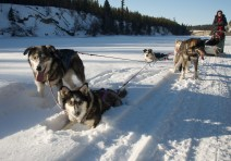 Sled dogs in Whitehorse