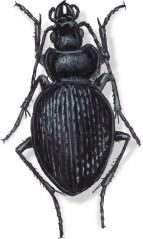 C Calosoma zimmeranni