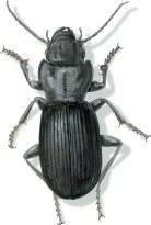 C Pterostichus lama