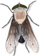 D Tabanus punctifer female