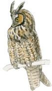 Owl long eared 2