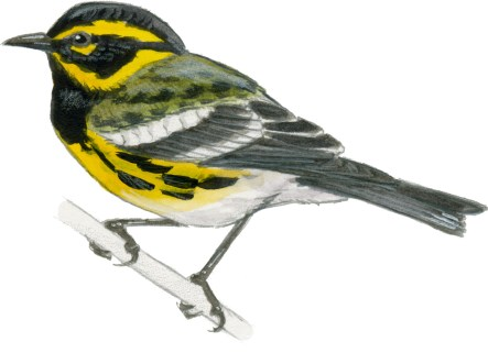 Warbler Townsend's male