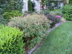 Chic Garden A Walk Purple Barberry Carex Hydrangea A Sunday Walk Garden Anthony Waterer Spirea Bloom Time Anthony Waterer Spirea Deer Resistant