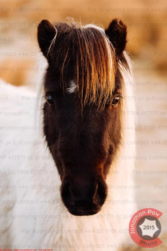 A portrait of a beautiful Dartmoor Pony