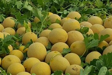 La campaña 'No cortes en verde' este año tiene menos superficie de melón y sandía