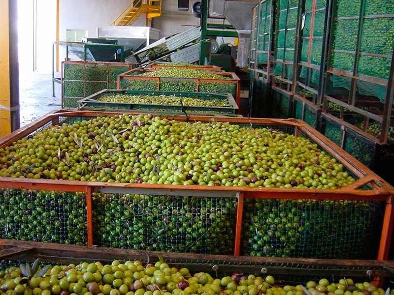 Aceitunas, aceite de oliva, olivar andaluz