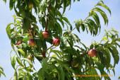 La fruta de hueso cotiza 0,15€/Kg por debajo de su coste de producción