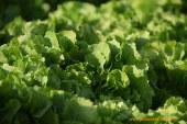 LETTUCE ATTRACTION: el mundo de las verduras de hoja