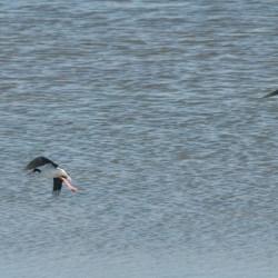 Black-legged stilt in flight, Hayward RS.