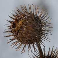 Winter Plant ID: Common Burdock