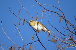 Photo of American Goldfinch feeding on seeds of Gray Birch