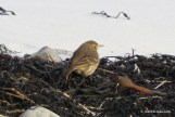 Photo of American Pipit