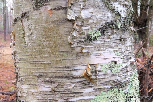 Photo of Paper Birch old bark