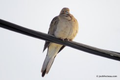 Photo of Mourning Dove