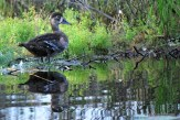 Photo of Ring-necked Duck (molting female)